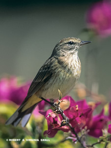 BASED ON THE UNDERTAIL PATTERN AND A COUPLE OF OTHER OBSERVATIONS, WE BELIEVE THIS TO BE A PALM WARBLER PERCHED BY THE FUCSHIA-COLORED LEAVES OF A  BOUGAINVILLEA