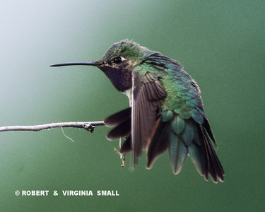 VIEW OF AN ACROBATIC BROAD-TAILED HUMMINGBIRD DANCING ON A TWIG OVERHEAD