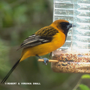 WHAT A FIND!  A STREAK-BACKED ORIOLE AT A FRIEND'S HOME-MADE FEEDER IN A CAMPGROUND ON THE BORDER BETWEEN TEXAS AND MEXICO