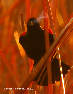IT WAS SO COLD THAT WE COULD SEE THE BREATH OF THE RED-WINGED BLACKBIRD AS IT SANG AT DAWN