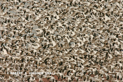 A WHOLE LOT OF SNOW GEESE IN FLIGHT(And this is only part of the flock!)