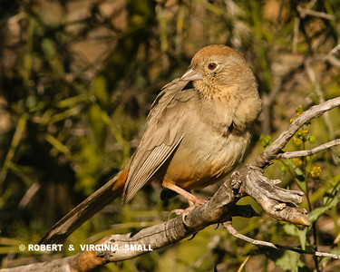 A CANYON TOWHEE PERCHED IN THORN BRUSH.