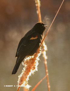 THE RED-WINGED BLACKBIRD'S BREATH WAS VISIBLE TO US AS IT SANG ON A VERY COLD MORNING WHILE PERCHED ON A CATTAIL