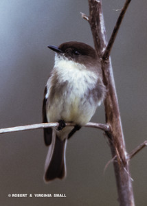 THE EASTERN PHOEBE WEARS HIS BROWN TOQUE PULLED DOWN ALMOST OVER HIS EYES (WE HAVE A CANADIAN IN THE FAMILY SO WE DON'T SAY 'BEANIE' OR 'STOCKING CAP' . . .).