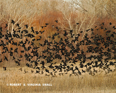 SWIRLING FLOCK OF RED-WINGED BLACKBIRDS
