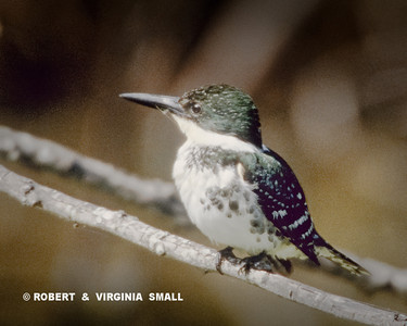 THE GREEN KINGFISHER OF THE MEXICAN-US BORDER