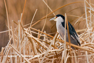 BLACK-CROWNED NIGHT-HERON IN DRY REEDS