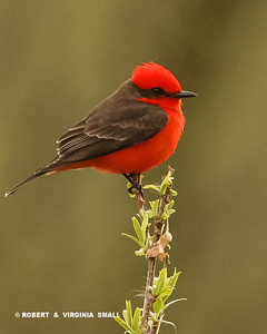 BRILLIANTLY OUTFITTED IN ITS RED FEATHERS, THE VERMILLION FLYCATCHER IS EAST TO SPOT BUT DIFFICULT TO PHOTOGRAPH AS IT IS RARELY MOTIONLESS