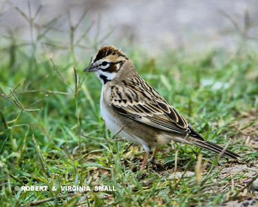 HERE'S ANOTHER SPARROW, A LARK SPARROW THIS TIME