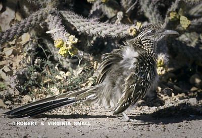 GREATER ROADRUNNER WARMING UP IN THE MORNING BY SPREADING ITS BACK FEATHERS TO EXPOSE ITS BODY TO THE SUN