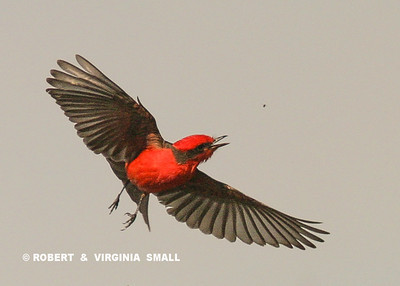JUST DOING WHAT A FLYCATCHER DOES.  SEE THE LITTLE BUG OVER THE VERMILLION FLYCATCHER'S LEFT SHOULDER?