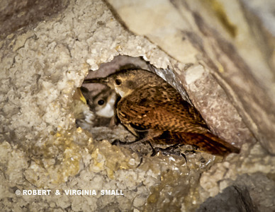 A LITTLE GLIMPSE INTO THE ROCK-WALLED NEST OF CANYON WRENS