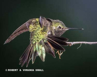 BLACK-THROATED HUMMINGBIRD IN TAIL DISPLAY