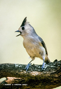 WHO CAN RESIST THIS LITTLE CLOWN OF THE BIRD WORLD , A TUFTED TITMOUSE?