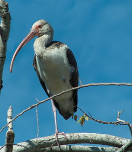 ibis perched (unusually) high in a tree