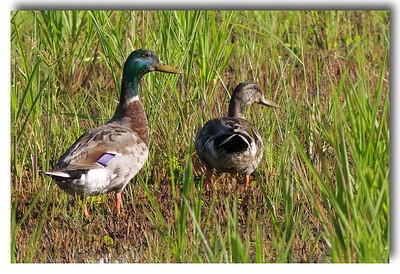 Mallards near the wetland, June 30, 2017