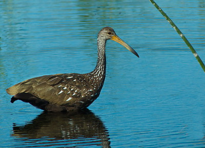 limpkin wading in the wetland