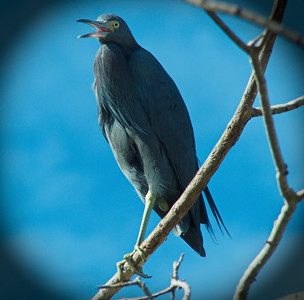 little blue heron perched high in a tree