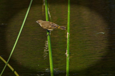 small warbler (?) in the bull rushes of the wetland