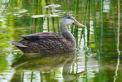 Mottled Duck.  Three Sisters, Birds
