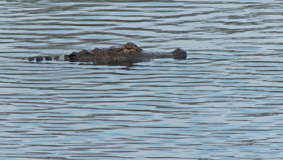 Alligator in Lake Crystal. Lake Crystal is not part of the wetlands