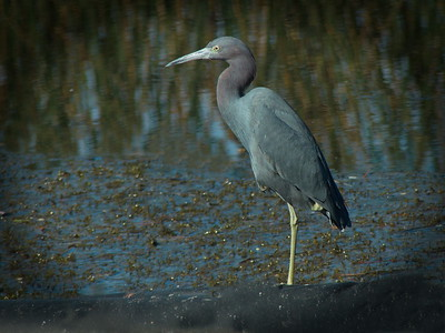 little blue heron at the outflow of the wetland
