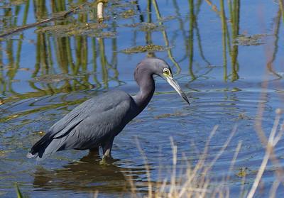 Little blue heron in the wetland