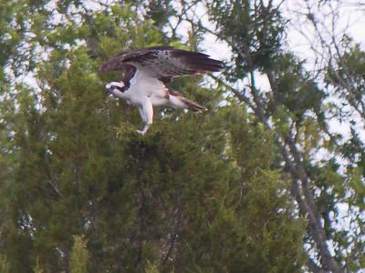 Osprey preparing nest