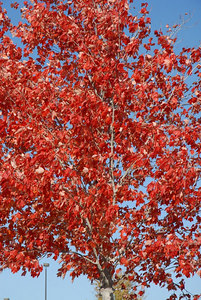 Pretty Red leaves... Adtran
