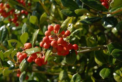 Berries on a bush