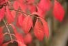 Bold Red Firebush