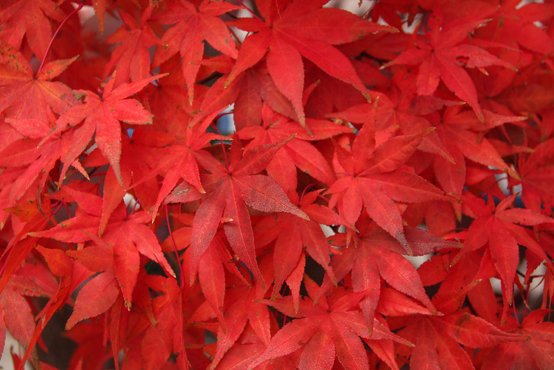 Fall Colors of a Red Maple Tree
