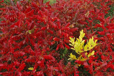 Sumac and something yellow.  No digital manipulation here.  Just bright colors.