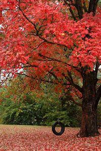 Tire Swing on Maple Tree.