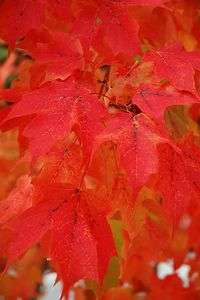 Maples Leaves After Rain.