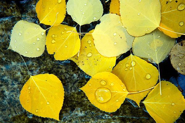 #178 Fall Aspen Leaves
