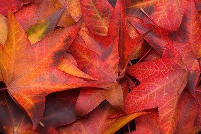 Sweetgum Leaves.