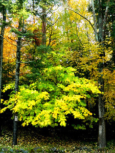 Yellow-green Striped Maple, our back yard, oct 4, 2012