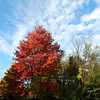 Red Maple, on our street in town, oct 4, 2012