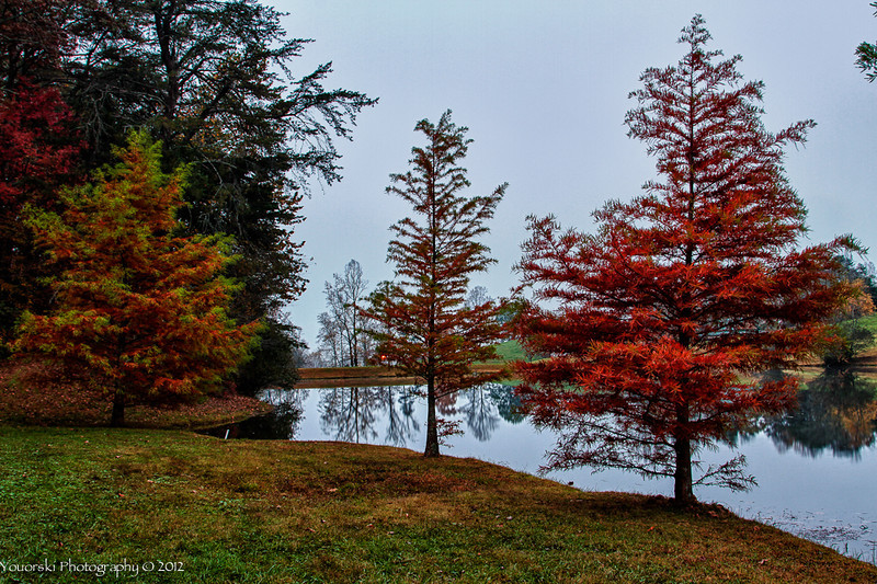 Bald Cypress in the Fall. Trackrock Campground.