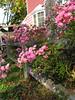 Cape Roses