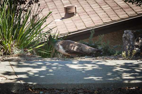 After fleeing our yard, the peahen crosses the street and heads down the hill