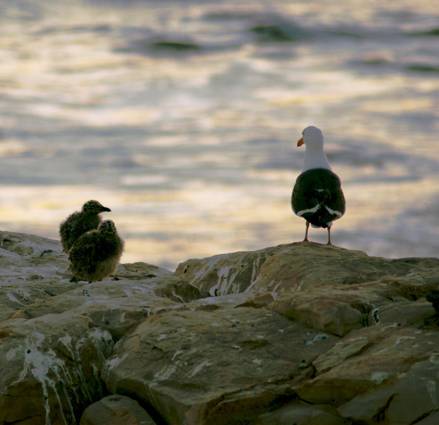 This shot was taken at Natural Bridges State Beach in Santa Cruz, CA.  There were seagull chicks on a number of the rocks, some solo and some in pairs.  It was almost sunset and parents and chicks all appeared to be waiting, quietly, for night to arrive.