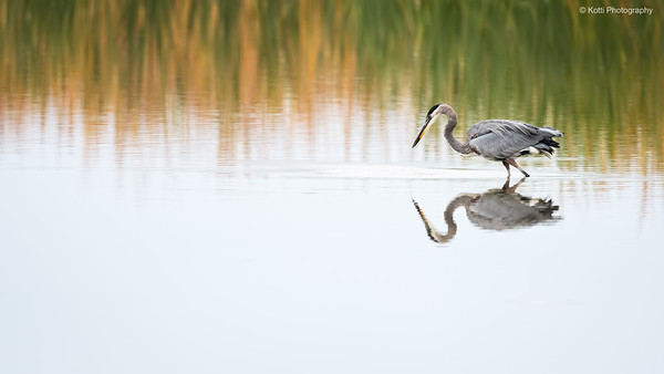 Great Blue Heron Environmental Potrait