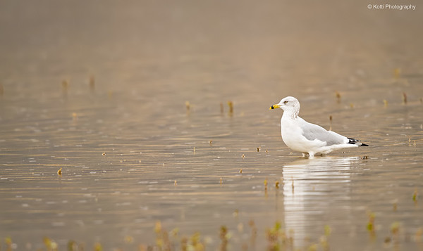 Adult Ringbilled Gull in Rain