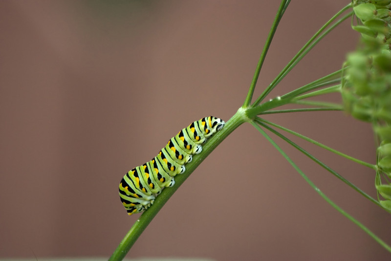 A young black swallowtail caterpillar crawling on a stem