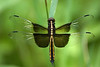 dragonfly Libellula Luctuosa