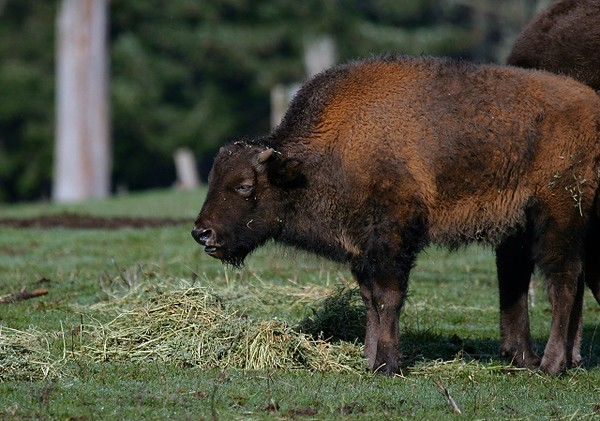 Young American Bison