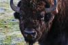 Bison Stare-Down