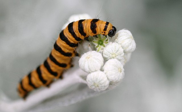 Conspicuous<br /> <br /> Cinnabar Moth caterpillar feeding on Silver Ragwort buds